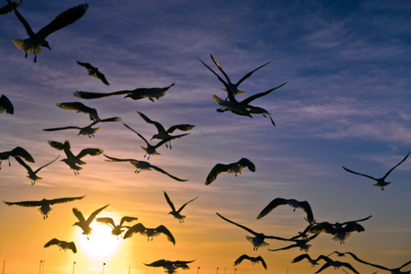 Gulls in Flight at Sunset