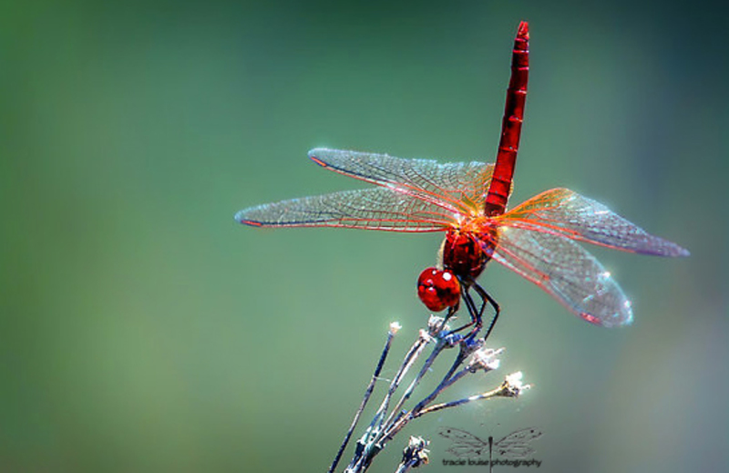 Red Dragonfly  - Don't Neglect the Background...